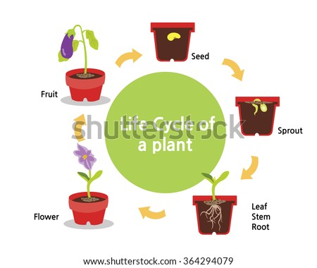 A cycle of a plants growth from seed to fruit - stock vector