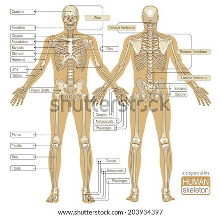 Diagram human skeleton main parts skeletal stock vector royalty a diagram of the human skeleton main parts of the skeletal system vector illustration ccuart Images