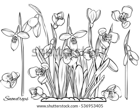 snowdrop coloring pages - tulip flowers coloring book vector illustration stock