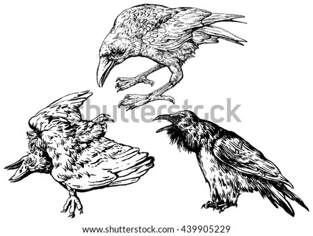 A set of crows - hand drawn vector illustration, isolated on white - stock vector