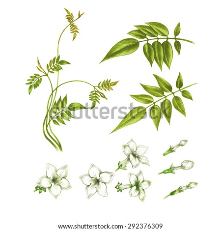 A set of isolated elements of jasmine flowers on a white background to create greeting cards, wedding invitations, ornaments, patterns. Vector. - stock vector