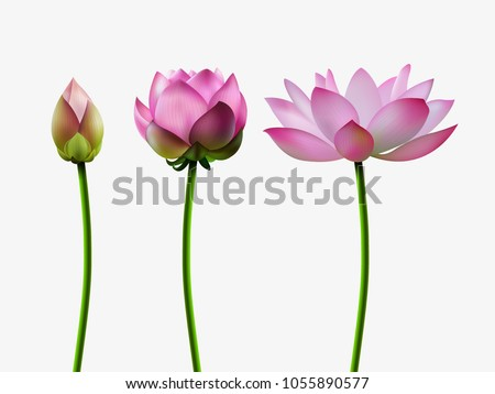 Set lotus blossoms stages bud opening stock vector 1055890577 a set of lotus blossoms stages of bud opening a beautiful flower an mightylinksfo