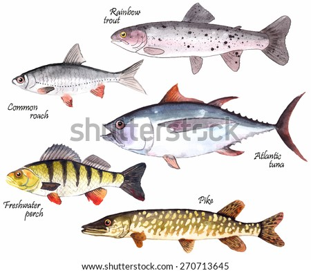 A set of watercolor hand-painted  fishes: rainbow trout, common roach, Atlantic tuna, freshwater perch and Pike. Vector illustration. - stock vector