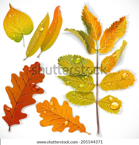A set 1 of yellow and red autumn leaves isolated on a white background - stock vector
