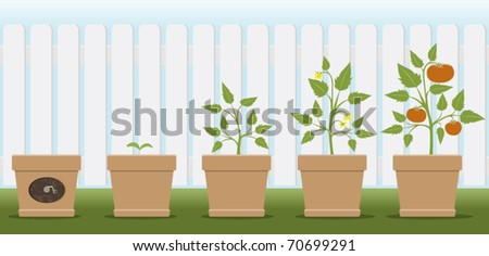a vector illustration showing how a tomato plant grows
