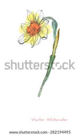 A vector painting of a single Narcissus (or Daffodil) flower against white background initially made in watercolor and Chinese ink - stock vector