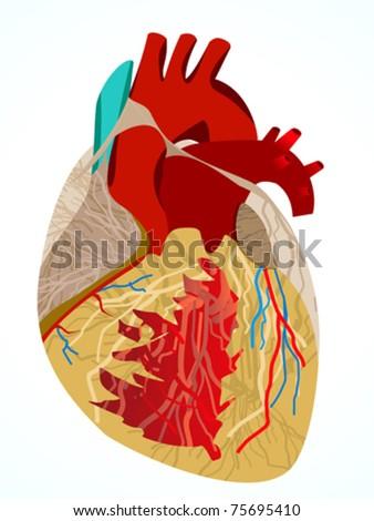 abstract human heart vector illustration - stock vector