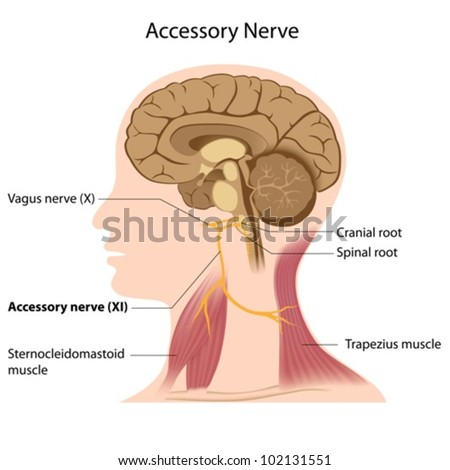 Accessory nerve - stock vector