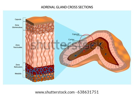 adrenal gland stock images, royalty-free images & vectors, Human Body