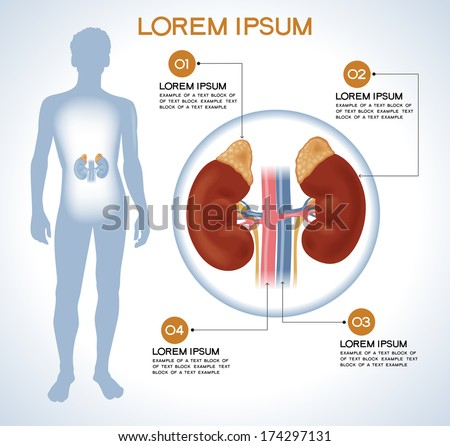 Adrenal. Modern medical infographics. Internal organs in a human body. Anatomy of people - stock vector