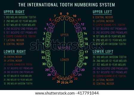 Adult international tooth chart vector illustration stock vector adult international tooth chart vector illustration editable image in neon colors on black background ccuart Gallery