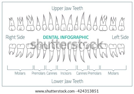 Teeth Chart Stock Images, Royalty-Free Images & Vectors | Shutterstock