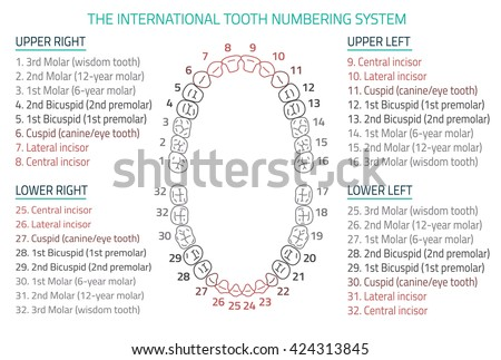 Adult International Tooth Numbering Chart Vector Stock Vector