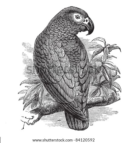 African Grey Parrot or Psittacus erithacus or Grey Parrot, vintage engraving. Old engraved illustration of African Grey Parrot waiting on a branch. Trousset encyclopedia (1886 - 1891). - stock vector
