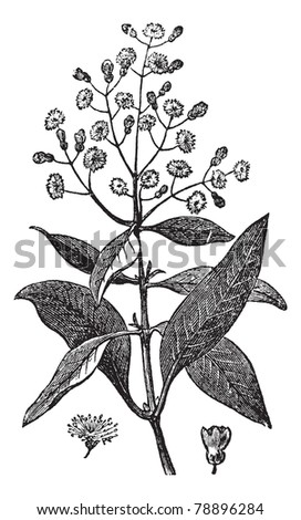 Allspice or Jamaica Pepper or Kurundu or Myrtle Pepper or Pimenta or Newspice or Pimenta dioica, vintage engraving.An Allspice showing flowers and berry (lower right).Trousset encyclopedia (1886-1891) - stock vector