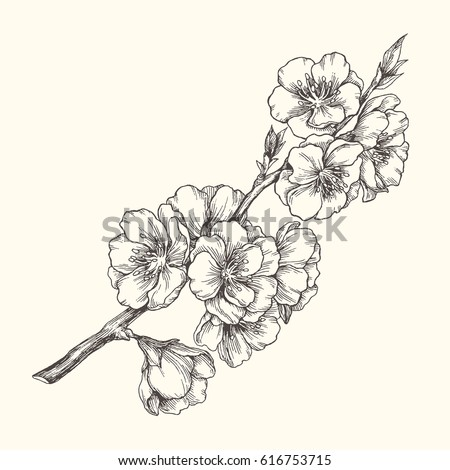 Almond Blossom Branch Isolated On White Vintage Botanical Hand Drawn Illustration Spring Flowers Of