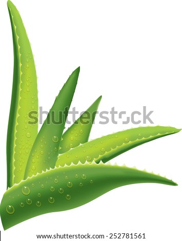Aloe leaves with water drops - stock vector