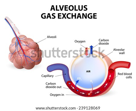 Alveolus. gas exchange. Pulmonary alveolus. alveoli and capillaries in the lungs. - stock vector
