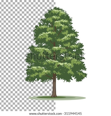 American holly tree. Isolated vector tree on white background. - stock vector