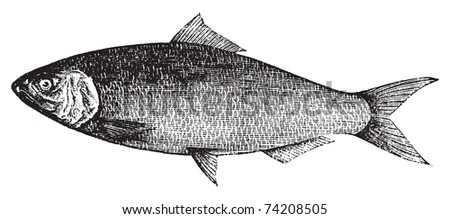 American Shad, Atlantic Shad, Alosa praestabilis or alosa sapidissima vintage engraving. Old engraved illustration of an american shad fish, in vector, isolated against a white background. - stock vector