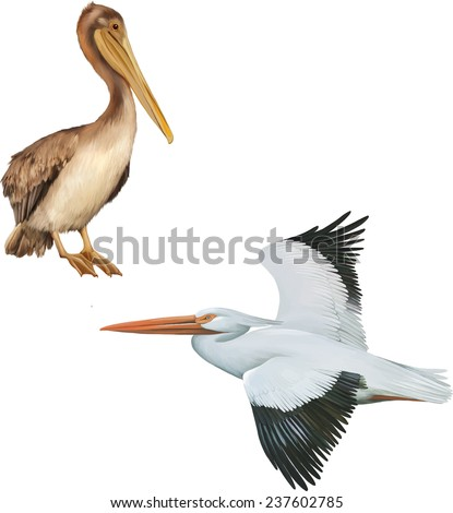 American White Pelican flying, browwn pelican sitting, isolated on white background - stock vector