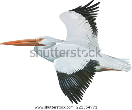 American White Pelican, isolated on white background - stock vector