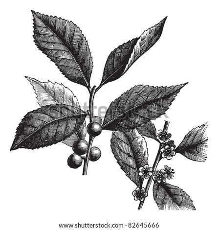American Winterberry, Ilex verticillata, Black Alder Winterberry, Brook Alder,  Canada holly, Coralberry, Deciduous Holly, False alder, Fever bush or Inkberry...  Trousset encyclopedia 1886 - 1891 - stock vector