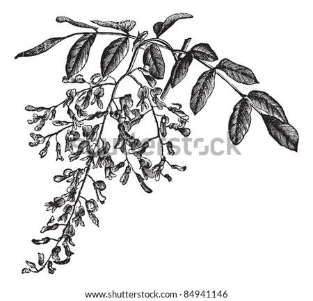 American Yellowwood or Cladrastis kentukea, showing flowers, vintage engraved illustration. Trousset encyclopedia (1886 - 1891). - stock vector