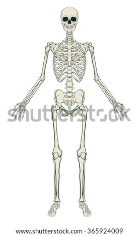 An anatomically correct medical educational illustration of a human skeleton - stock vector