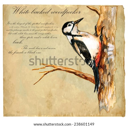 An hand painted illustration into vector picture. Bird: White Backed Woodpecker - stock vector