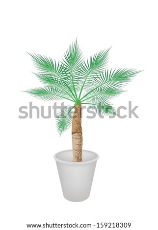 An Illustration of A Beautiful Livistona Rotundifolia Palm Tree in A Flowerpot for Garden Decoration.