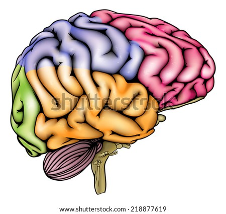An illustration or anatomy diagram of an anatomically correct human brain with different sections in different colors  - stock vector