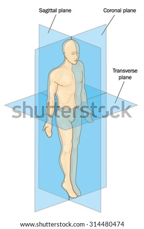 Anatomical Planes Section Showing Sagittal Coronal Stock Vector Hd