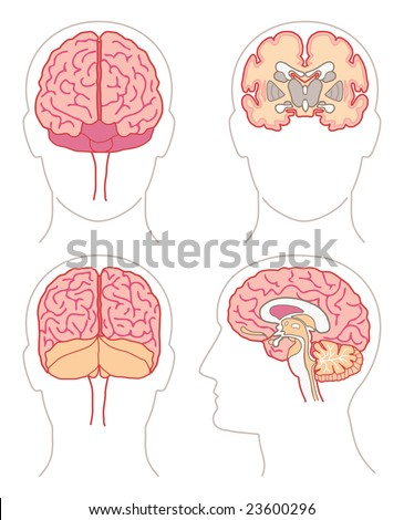 Anatomy - Brain 1 - stock vector