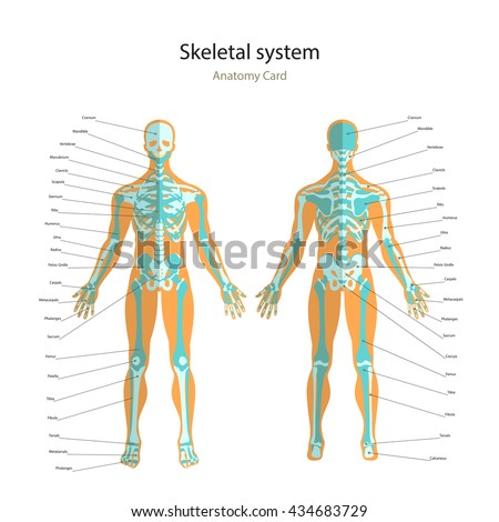 illustration human muscles female body front stock vector, Skeleton