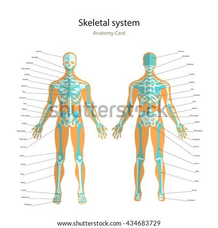 illustration human muscles female body front stock vector, Skeleton