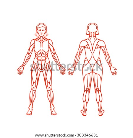 Anatomy of female muscular system, exercise and muscle guide. Women muscle vector outline art, front and back view. Vector illustration - stock vector