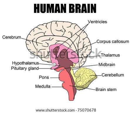 Anatomy Human Brain Vector Illustration For Stock Vector 75070678 ...
