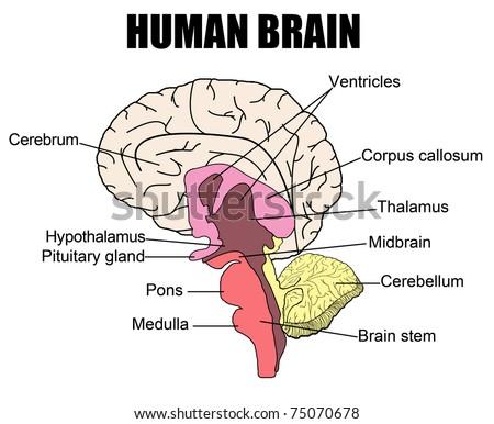 brain diagram hypothalamus | Diarra
