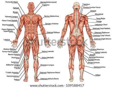anatomy male muscular system posterior anterior stock vector,