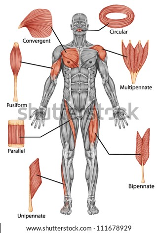 Anatomy of male muscular system - posterior view of type muscle - full body - stock vector