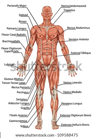muscular system stock images, royalty-free images & vectors, Human Body