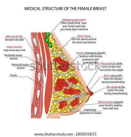 anatomy of the female breast - stock vector