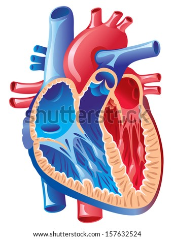 Anatomy Heart Stock Vector (Royalty Free) 157632524 - Shutterstock