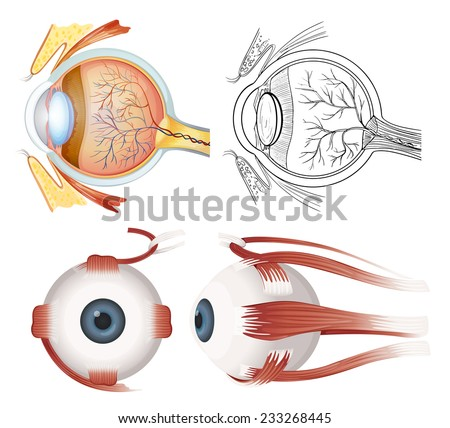 Anatomy of the human eye on a white background  - stock vector