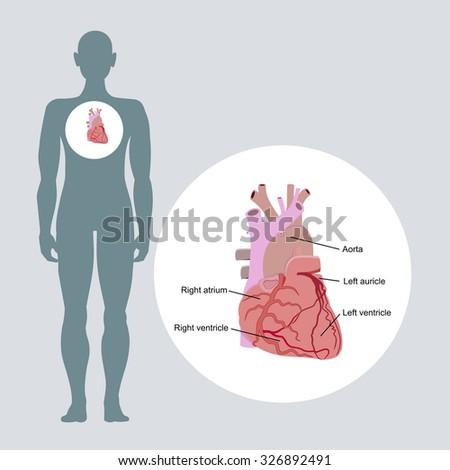 Anatomy of the human heart - stock vector