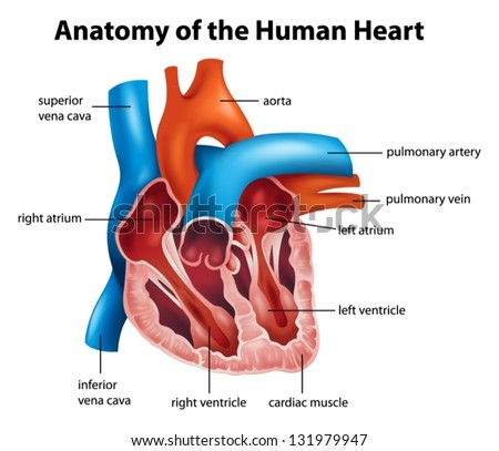 Anatomy human heart illustration stock vector 131979947 shutterstock anatomy of the human heart illustration ccuart Images