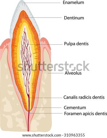 anatomy tooth - stock vector