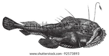 Angler (Lophius piscatorius) / vintage illustration from Meyers Konversations-Lexikon 1897 - stock vector