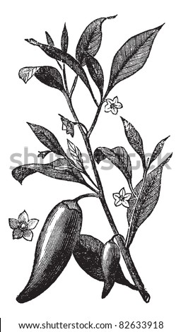 Annual chili (Capsicum annuum) or Mississippi sport pepper, vintage engraved illustration. Trousset encyclopedia (1886 - 1891).